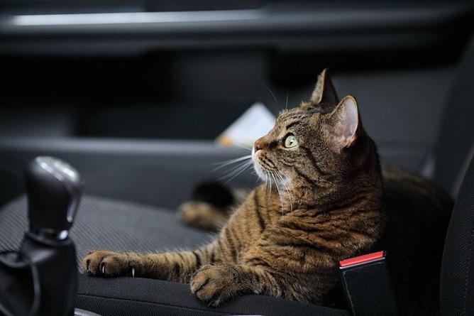 A cat sitting in a car