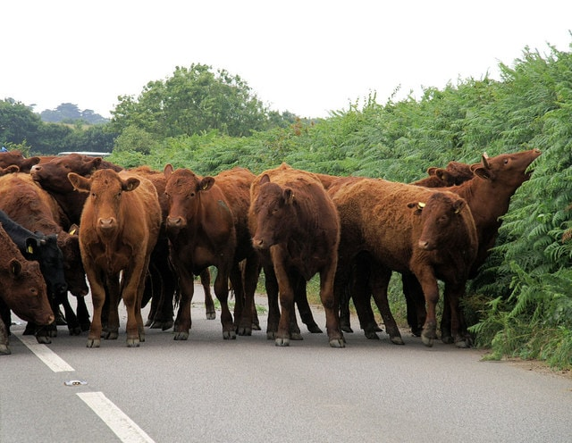 Cows blocking country road