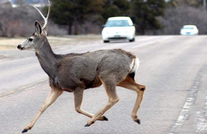 Deer running across a road with cars in the background
