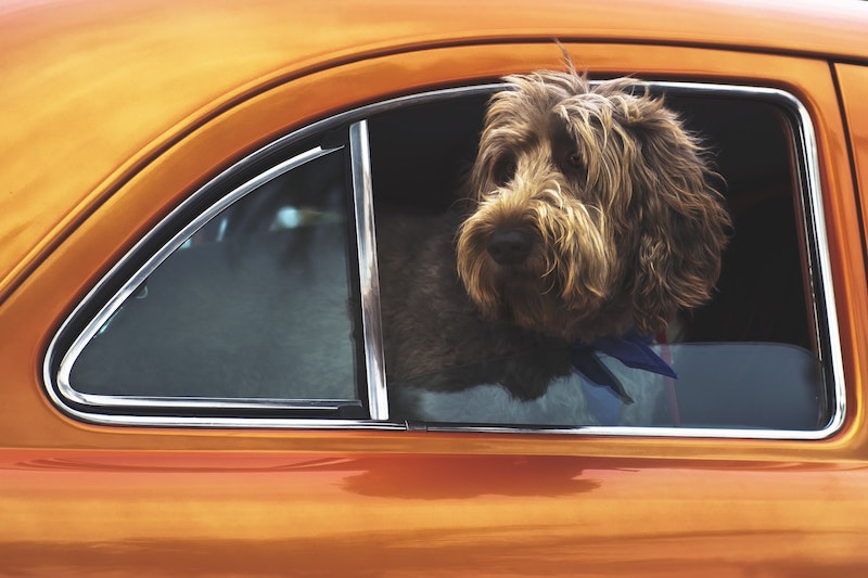 Brown dog poking head out of orange car