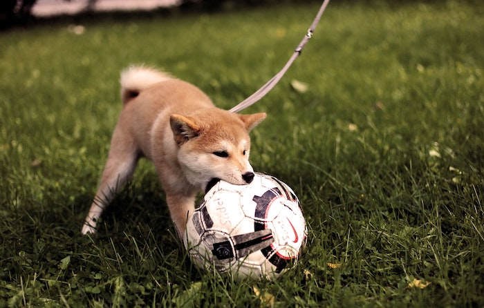 Dog on lead biting football