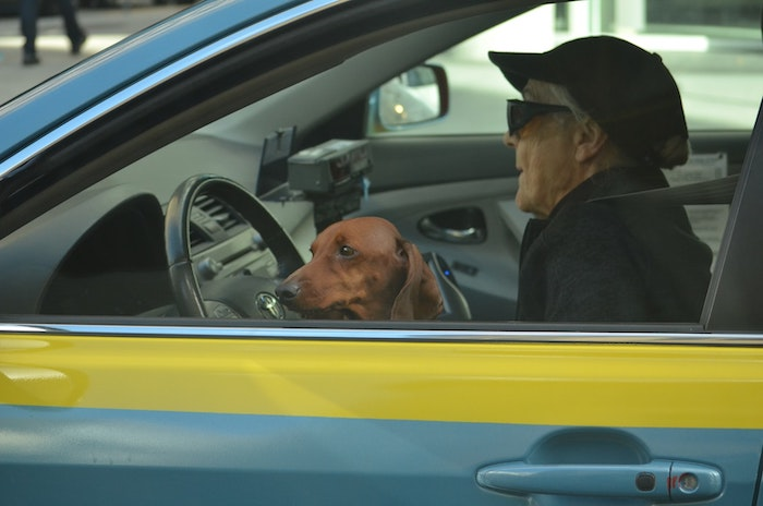 Old person driving car with dog on lap