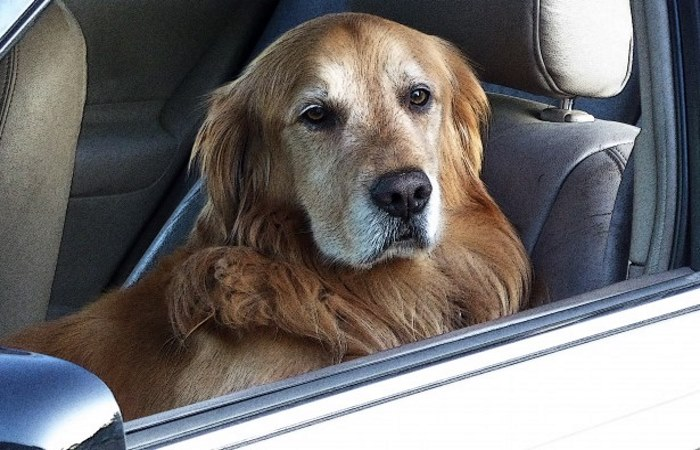 Dog sat in a car looking out of the window