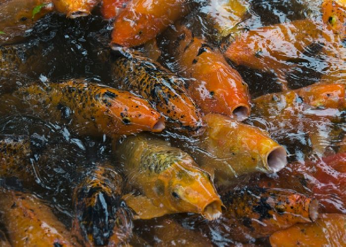 Koi fish at surface of water with mouths open