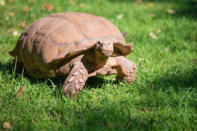 A tortoise in the grass