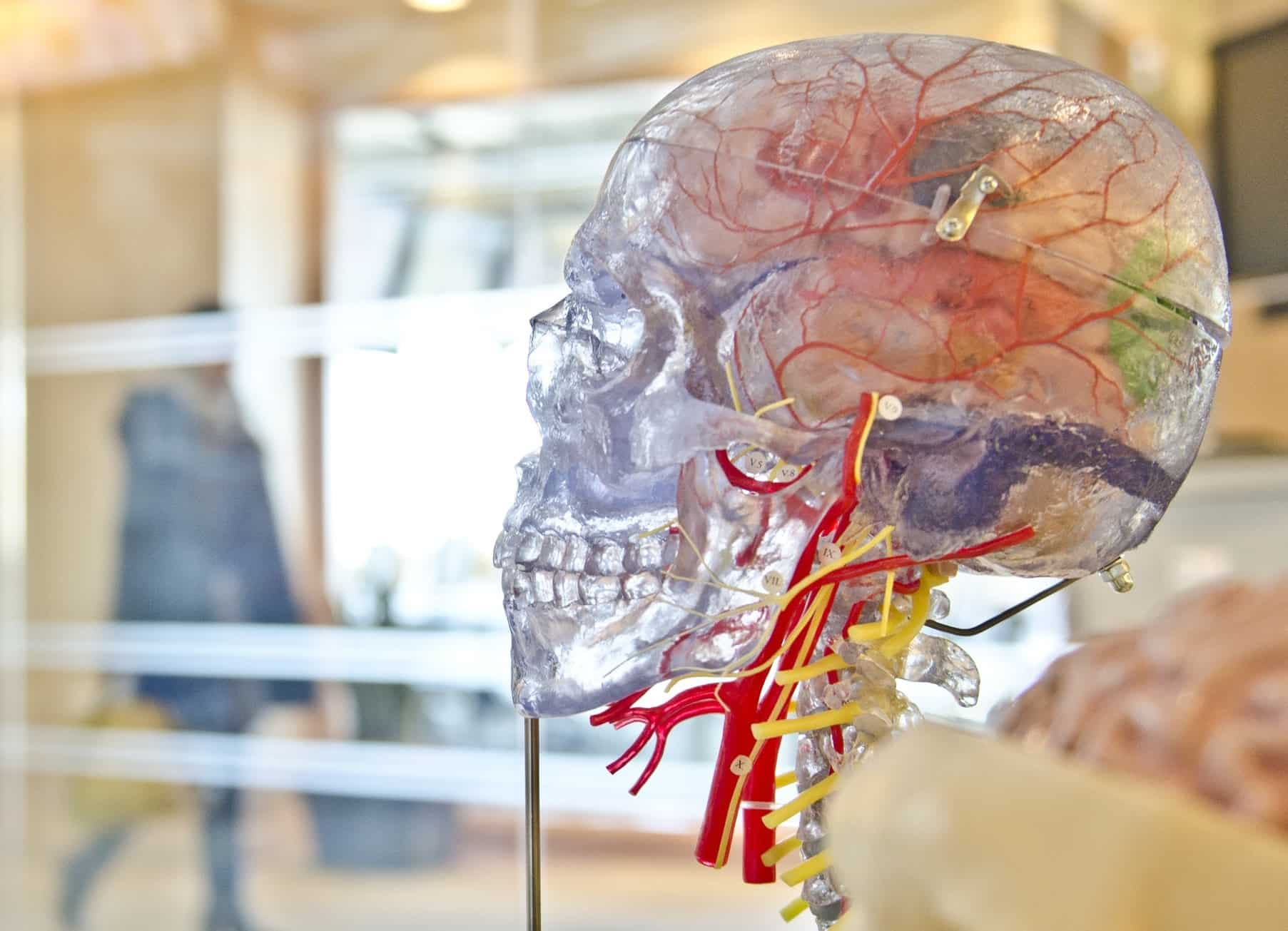Transparent skull with colourful brain inside