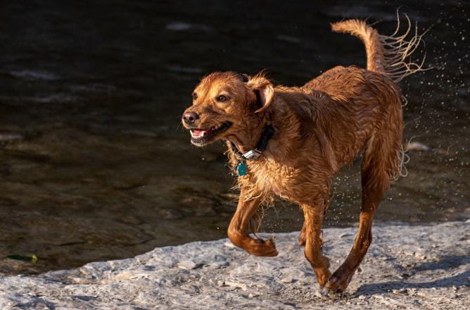 A wet dog frolicking